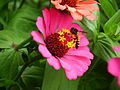 Zinnia from Lalbagh Flowershow - August 2012 4761.JPG