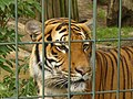 Zoo Berlin - Tiger - geo.hlipp.de - 40693.jpg