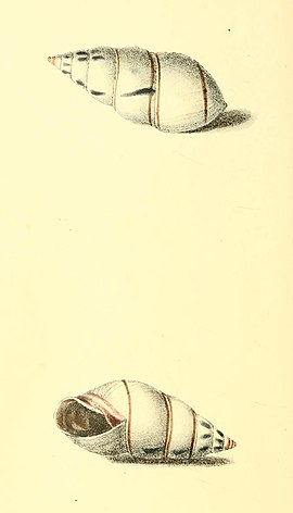 Zoological Illustrations Volume I Plate 41.jpg