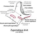 Zygomatique droit.png