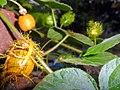 """+arya+"" Passiflora foetida ꦫꦩ꧀ꦧꦸꦱ krucuk 2019 03.jpg"