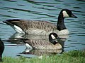 """Richardson's"" Cackling Goose, Walker, MI, September 4, 2005 (6484963983).jpg"