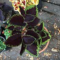 'Giant Exhibition Magma' coleus IMG 0879.jpg