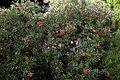 'Grevillea Forinda' at Capel Manor College Gardens Enfield London England 2.jpg