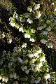 'Helleborus × hybridus Double White' Lenten rose at Capel Manor Gardens Enfield London England 2.jpg