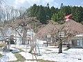 (福島県) 永泉寺のシダレザクラ。三春の滝桜と同種とされているとのこと。まだまだつぼみすら、という状態でした。甘茶が無料で振舞わ - panoramio.jpg