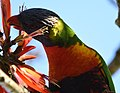 (1)Rainbow Lorikeet-4abc.jpg