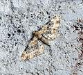 (1816) Toadflax Pug (Eupithecia linariata) (19054301389).jpg