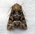 (2337) Marbled Minor (Oligia strigilis) (5864375104).jpg