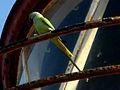 (Psittacula krameri) rose ringed parrot at Bheemunipatnam 02.jpg