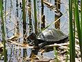 Болотяна черепаха (Голосіївський парк).jpg