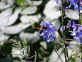 Бражник-язикан (Macroglossum stellatarum).jpg