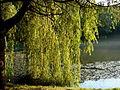 Голосіївський парк, озеро.jpg