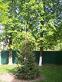 Дерева біля ветлаболаторії.JPG