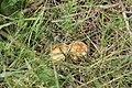 Луговые опята. Новодеревенский лес. Чистопольский р-н. РТ. Август 2013 - panoramio.jpg