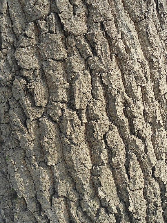 Dub letný - kôra