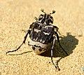 Пестряк коротконадкрылый - Valgus hemipterus - Stolperkäfer (34935606951).jpg