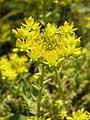 Растения в Седово 015.JPG