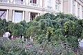 Софора японская плакучая в Одессе. Фото 1.jpg