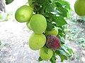 Спелая слива на ветви с неспелыми плодами.jpg
