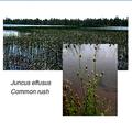الشكل (2-8-3-1) صور للنباتات المستعملة في الأراضي الرطبة (1) (ت).png
