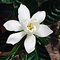 গন্ধরাজ ফুল - Cape jasmine 2.jpg