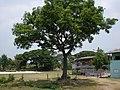 ต้นสะเดาต้นนี้อายุหลายสิบปีแล้วครับ - panoramio.jpg
