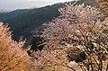 吉野山下千本 朝日に輝く桜の花 2014.4.15 - panoramio.jpg