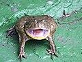 小丑蛙 Lapidobatrachus laevis - panoramio.jpg