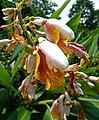 山薑屬 Alpinia mutica -新加坡植物園 Singapore Botanic Gardens- (32658236043).jpg