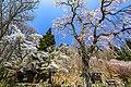 徹然桜01.jpg