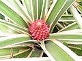 斑葉鳳梨 Ananas comosus -香港動植物公園 Hong Kong Botanical Garden- (9200910790).jpg