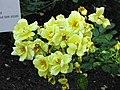 月季 Rosa chinensis 'One Thousand Lights' -悉尼植物園 Royal Botanic Gardens, Sydney- (46456363961).jpg