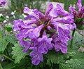 水蘇屬 Stachys macrantha -哥本哈根大學植物園 Copenhagen University Botanical Garden- (36326810294).jpg