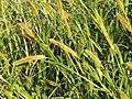 狗尾草 Setaria viridis - panoramio.jpg