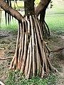 紅刺露兜樹 Pandanus utilis 20200410215300 08.jpg