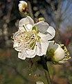 綠萼梅 Armeniaca mume f viridicalyx -南京梅花山 Nanjing, China- (33310794291).jpg