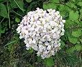 耆屬 Achillea millefolium v alpestris -巴黎植物園 Jardin des Plantes, Paris- (9229778822).jpg