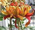 菊花-金背大紅 Chrysanthemum morifolium 'Golden-back Deep Red' -香港圓玄學院 Hong Kong Yuen Yuen Institute- (12099661386).jpg