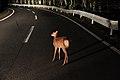 赤城山の野生シカ(小鹿) - panoramio.jpg