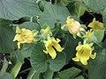 赤瓟 Thladiantha dubia -牛津大學植物園 Oxford Botanic Garden- (9216113022).jpg