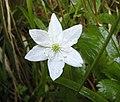 銀蓮花屬 Anemone trifolia -斯洛文尼亞 Bled Vintgar Gorge, Slovenia- (27426112360).jpg