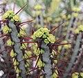 銅綠麒麟 Euphorbia aeruginosa -香港花展 Hong Kong Flower Show- (9219903141).jpg