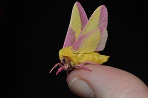 Dryocampa rubicunda - Rosy maple moth is the smallest of silk moths