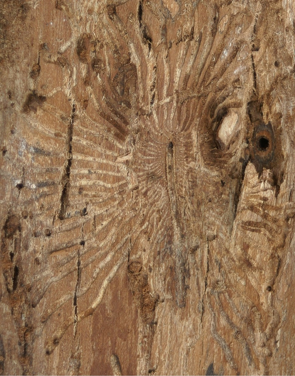 04 Scolytus multistriatus Fra%C3%9Fbild