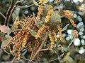 068quercus rotundifolia.JPG