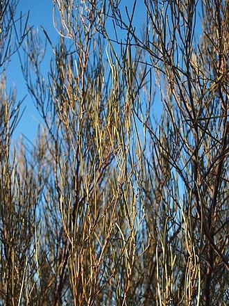 Acacia ramulosa - Acacia ramulosa foliage