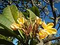2002Plumeria acuminata 08.jpg