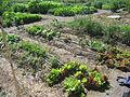 2009 community garden Colorado 3721323994.jpg