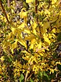 2014-05-01 17 48 05 Forsythia blossoms in Elko, Nevada.JPG